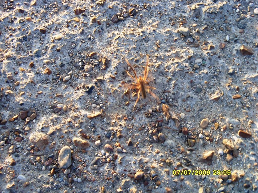 Скорпион или тарантул? Но ядовит!