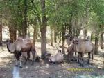 Семейство диких верблюдов