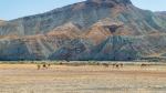 Дикие верблюды