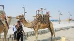 Пляж и верблюды