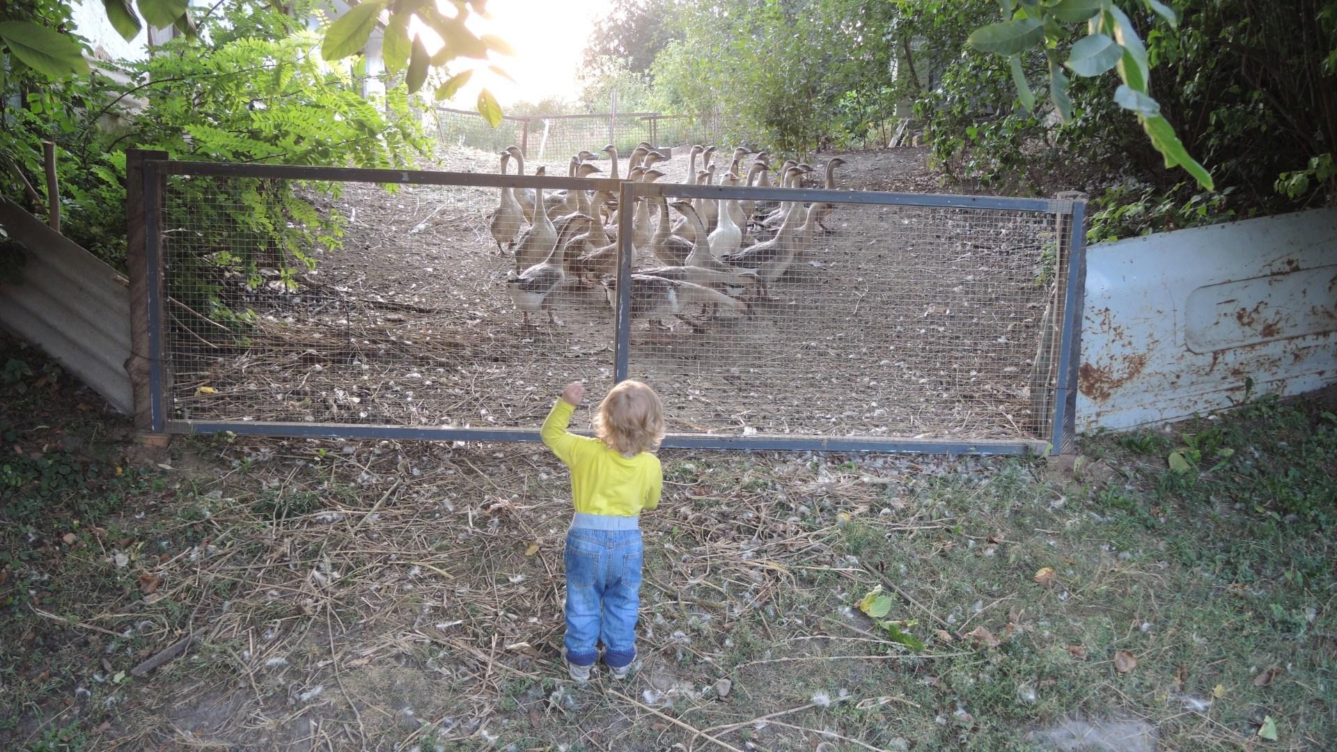 Гоняет гусей